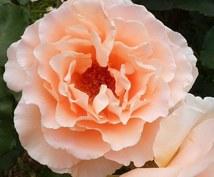 宝城あやのオリジナル◆ファン・グランタブローします 更にあなただけに贈るリーディングメッセージ◆薔薇の花占い付◆
