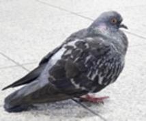 ベランダの鳩の撃退方法を教えます ほとんどお金を使わないマンションベランダの鳩の撃退法