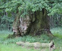 秘儀を伝える秘密の伝達手段のオガム文字で占います 聖なる樹木と繋がる  磨神鏡里 magamikyori