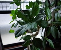 観葉植物育成の相談に乗ります 葉が全部落ちたガジュマル、ヒョロヒョロのパキラが復活!?