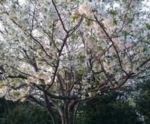 4月5日の上野公園のお花見にご招待します お友達が欲しい方、遊ぶのが好きな方