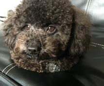 愛犬トイプードルの写真を提供します。