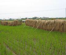 無農薬の米作してみませんか できない方も必見です