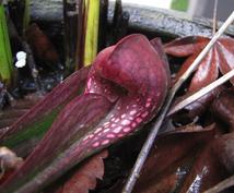 食虫植物の栽培についてアドバイスします 食虫植物栽培歴の長い私がお答えします