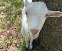 ヤギの飼い方教えます 飼育を考えてる方!4匹ペットで飼っている私が教えます‼︎