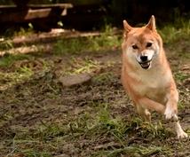 柴犬に関する相談に乗ります 「ワンちゃん譲ってください」と言われる犬の育て方