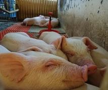 養豚場について教えます どんな仕事をしているんだろう?