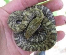 ヘビの飼い方、捕まえ方教えます エキゾチックアニマルを飼ってみたい方にオススメ!