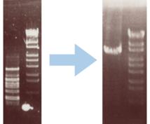 PCRが成功しやすいプライマーを設計します PCRが上手く増えなくて困っている方にオススメ!