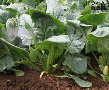 農家(美味安全野菜栽培士)が野菜の育て方相談にのります。家庭菜園向け。