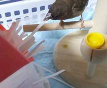 小鳥のもみちゃんがおみくじタロットで貴方の事を占います