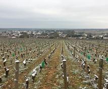 ワイン知識、ブルゴーニュのドメーヌ正社員が教えます ミレジム、ワイン選択、栽培から醸造の知識まで