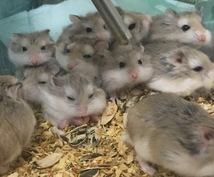 ハムスター飼育について相談受けます ロボロフスキー繁殖成功、ジャンガリアン、最大18匹ほど飼育