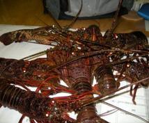 伊勢海老釣りを極めてネットで普及させた私が伊勢海老釣りの極意をお教えします!